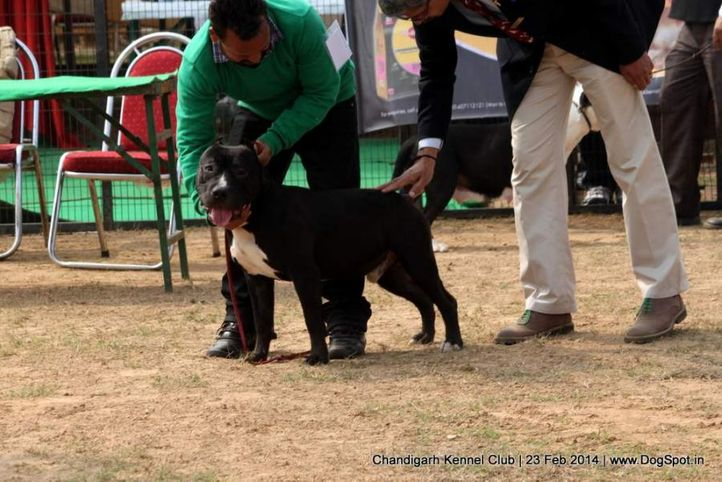 ex-20,staffordshire bull terrier,sw-110,, HASHMEET'S TOMMY, Staffordshire Bull Terrier, DogSpot.in