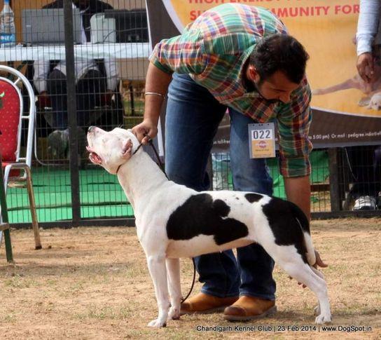 ex-22,staffordshire bull terrier,sw-110,, HASHMEET'S SMALI, Staffordshire Bull Terrier, DogSpot.in