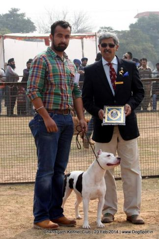 staffordshire bull terrier,sw-110,, Chandigarh Kennel Club, DogSpot.in