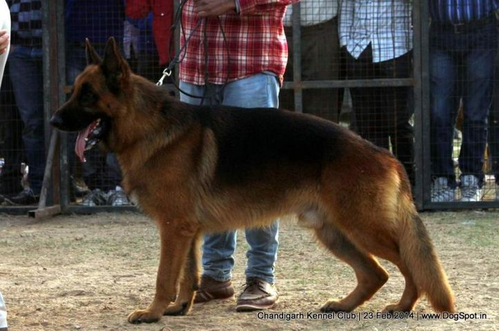 ex-242,gsd,sw-110,, CASPER OF DOGMATIX, German Shepherd Dog, DogSpot.in