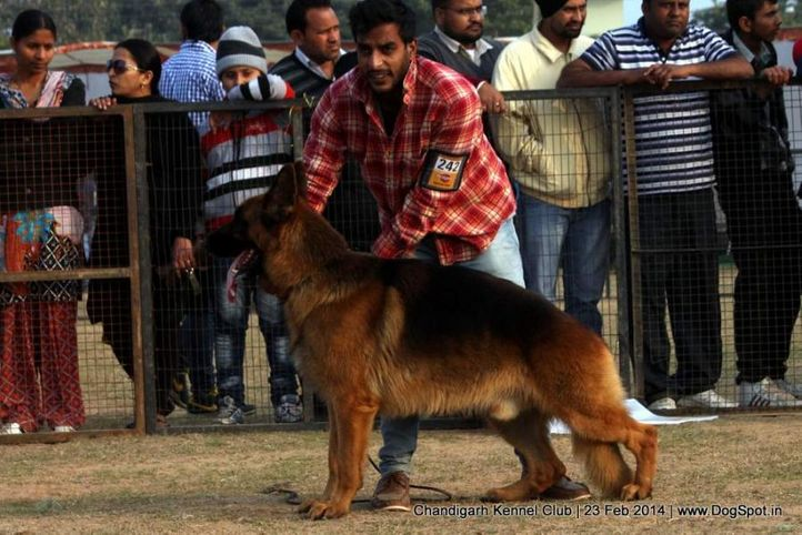 gsd,sw-110,, Chandigarh Kennel Club, DogSpot.in