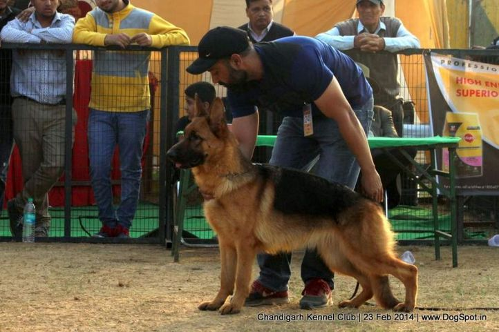 ex-245,gsd,sw-110,, BRETNI, German Shepherd Dog, DogSpot.in