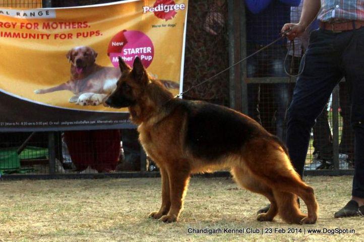 ex-246,gsd,sw-110,, LUNA OF SUPERSTAR, German Shepherd Dog, DogSpot.in