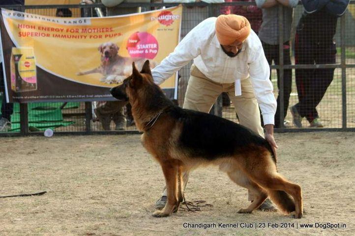 ex-248,gsd,sw-110,, XANDRA VOM TEAM FIEMERECK, German Shepherd Dog, DogSpot.in
