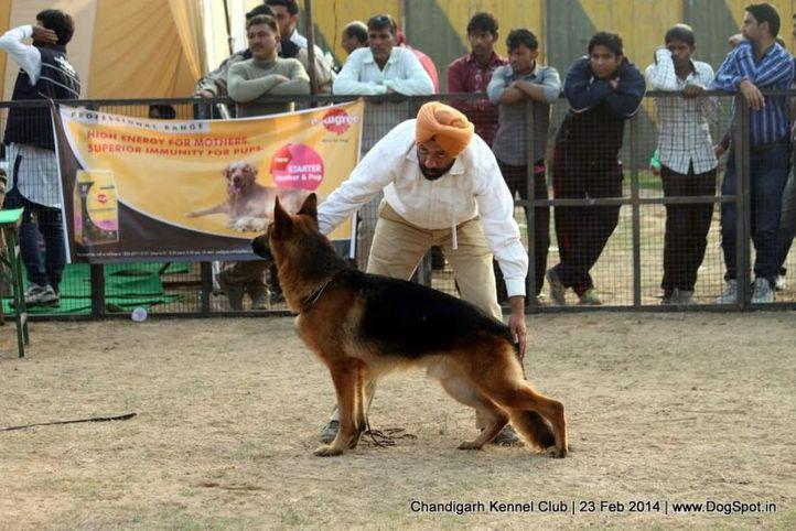gsd,sw-110,, Chandigarh Kennel Club, DogSpot.in