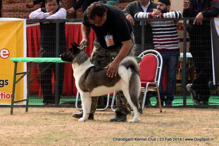 akita,sw-110,, Chandigarh Kennel Club, DogSpot.in