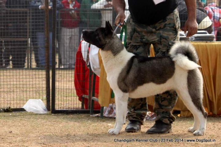 akita,ex-27,sw-110,, ASHRA FARM'S DO APPLAUD, Akita, DogSpot.in