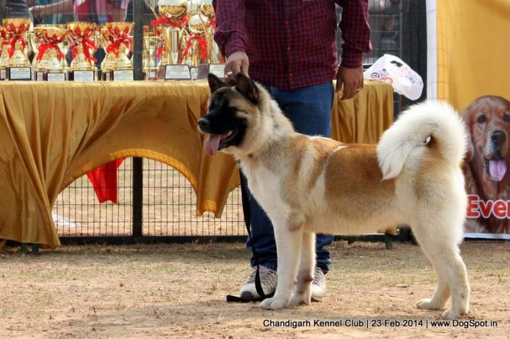 akita,ex-25,sw-110,, SILVER CLOUD'S  COTON &CANDY, Akita, DogSpot.in