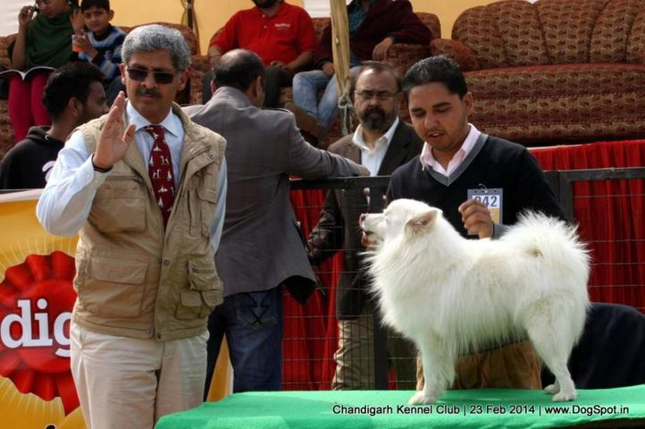 ex-42,greater indian spitz,sw-110,, WHITER, Greater Indian Spitz, DogSpot.in