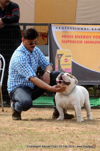 bull dog,ex-35,sw-110,, DANGER, Bull Dog, DogSpot.in