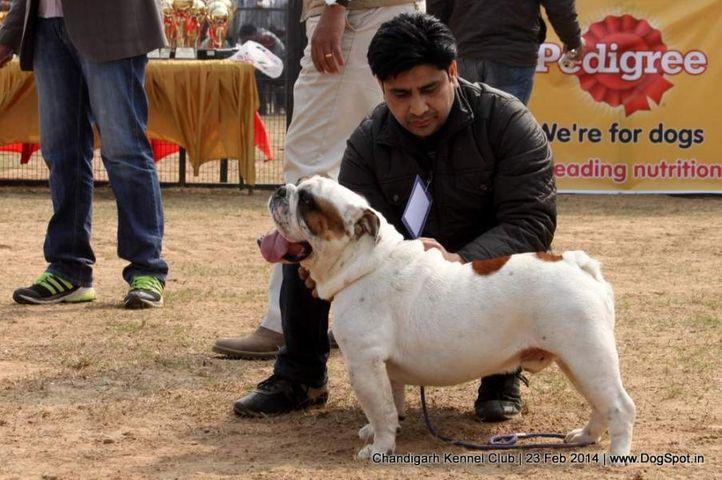 bull dog,ex-34,sw-110,, LUXURY DOGS NEW EDITION, Bull Dog, DogSpot.in