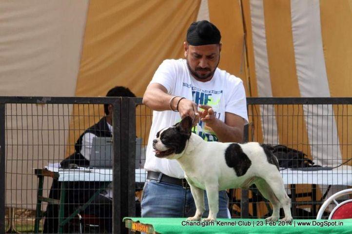 ex-41,french bull dog,sw-110,, BALMER, French Bull Dog, DogSpot.in