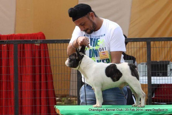 french bull dog,sw-110,, Chandigarh Kennel Club, DogSpot.in