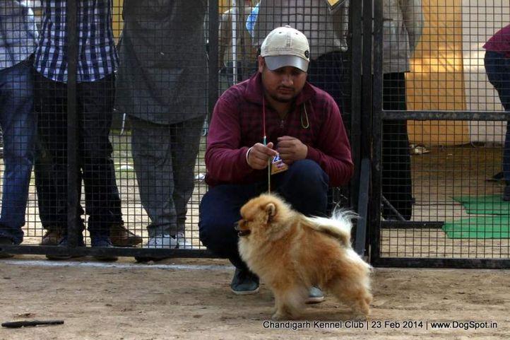pom,pomeranian,sw-110,, Chandigarh Kennel Club, DogSpot.in