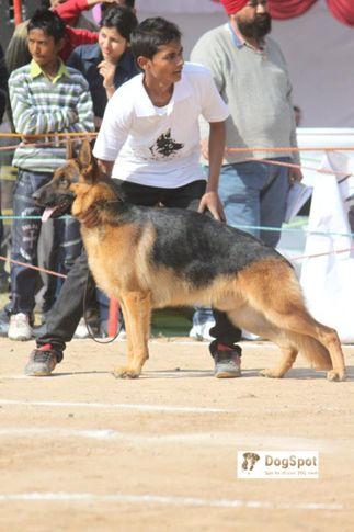 GSD,, Chandigarh Show, DogSpot.in