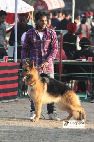 GSD,, Chandigarh Show, DogSpot.in