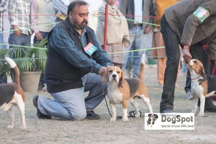 Beagle,, Chandigarh, DogSpot.in