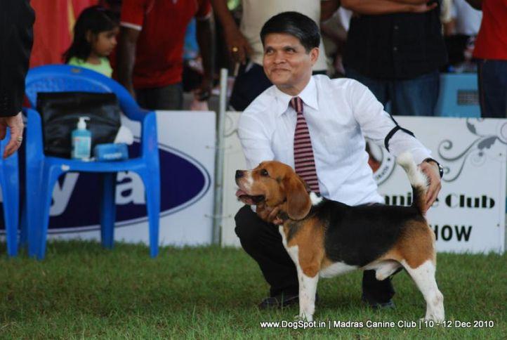 beagle,, Chennai Dog Shows, DogSpot.in