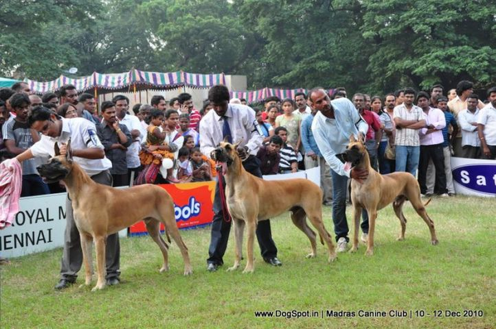 great dane,, Chennai Dog Shows, DogSpot.in