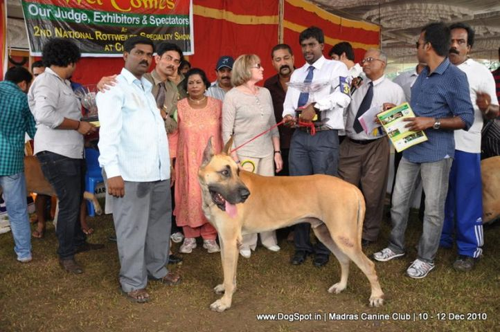 great dane,great dane speciality,, Chennai Dog Shows, DogSpot.in
