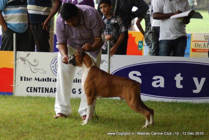 boxer,, Chennai Dog Shows, DogSpot.in