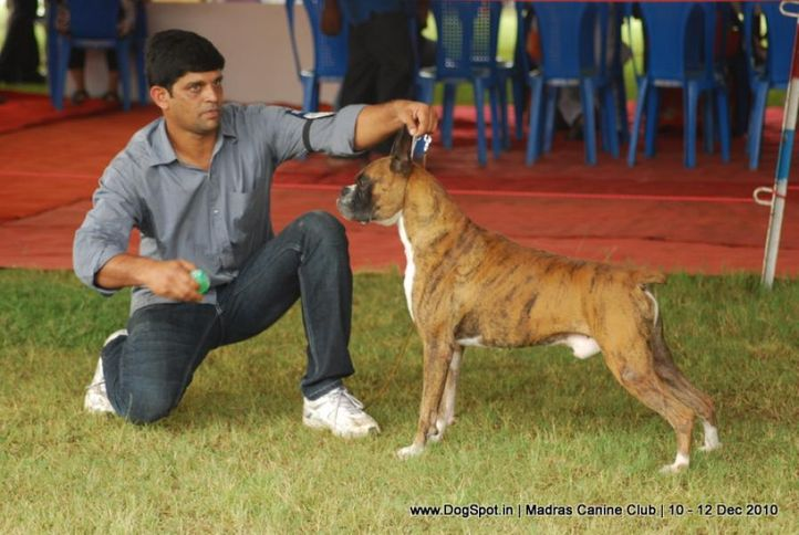 boxer,, Chennai Dog Shows, DogSpot.in