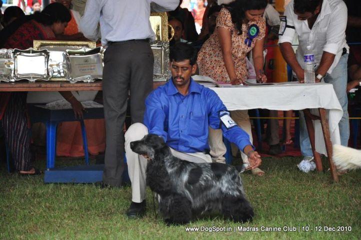 cocker,, Chennai Dog Shows, DogSpot.in