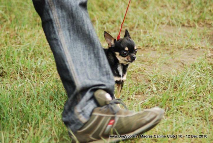 chihuahua,, Chennai Dog Shows, DogSpot.in