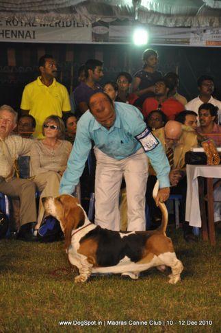 basset,, Chennai Dog Shows, DogSpot.in