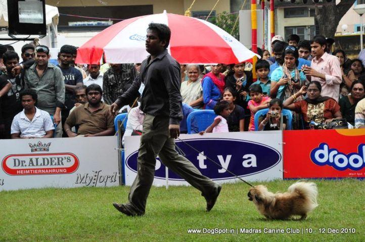 pekingese,, Chennai Dog Shows, DogSpot.in