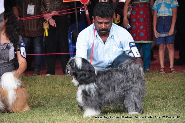 tibetan terrier,, Chennai Dog Shows, DogSpot.in