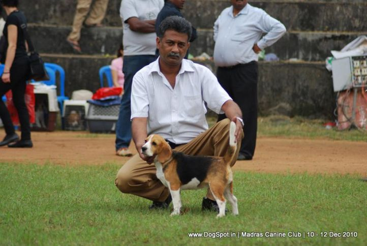 beagle,, Chennai Dog Shows, DogSpot.in