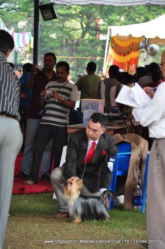 yorkshire,, Chennai Dog Shows, DogSpot.in
