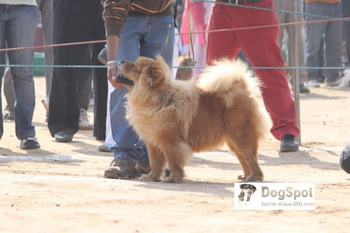 ChowChow,, Chow Chow, DogSpot.in