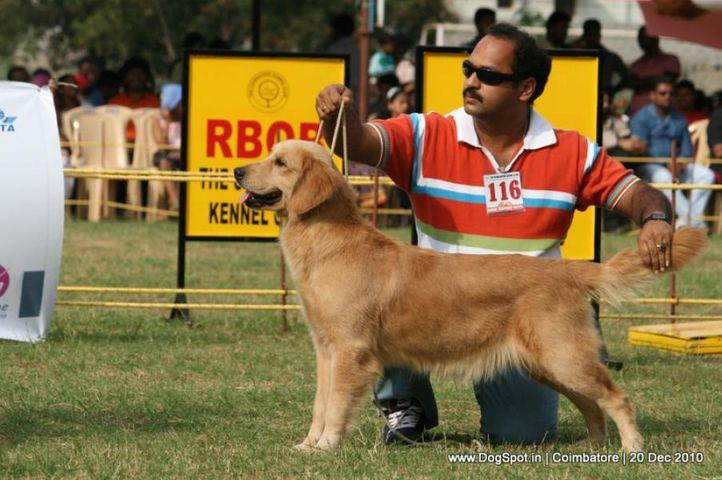 sw-19, ex-116,golden,, APPLE'S ALFA AMUL GIRL, Golden Retriever, DogSpot.in