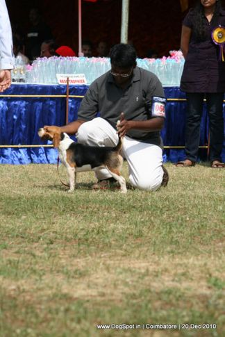 sw-19, beagle,ex-66,, DAY SPRINGS VENTRA'S A KISS IN THE HEART, Beagle, DogSpot.in
