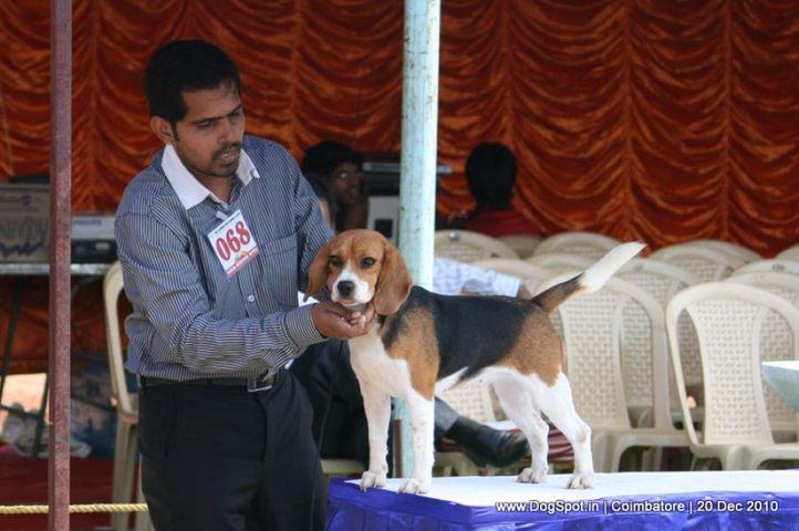 sw-19, beagle,ex-68,, PUPPY LOVE'S SEASONAL GREETINGS, Beagle, DogSpot.in
