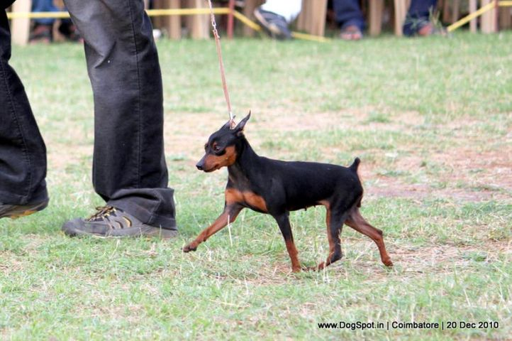 sw-19, minpin,, Coimbatore 2010, DogSpot.in