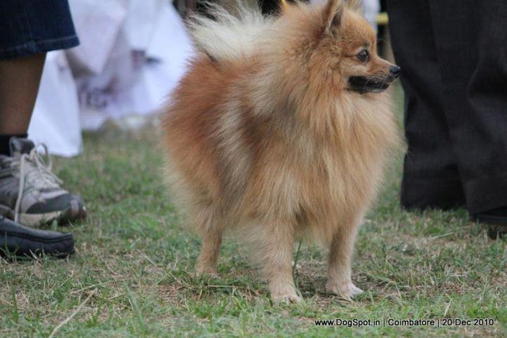 sw-19, ex-48,pomeranian,, VICKVIN'S BUNNY, Pomeranian, DogSpot.in