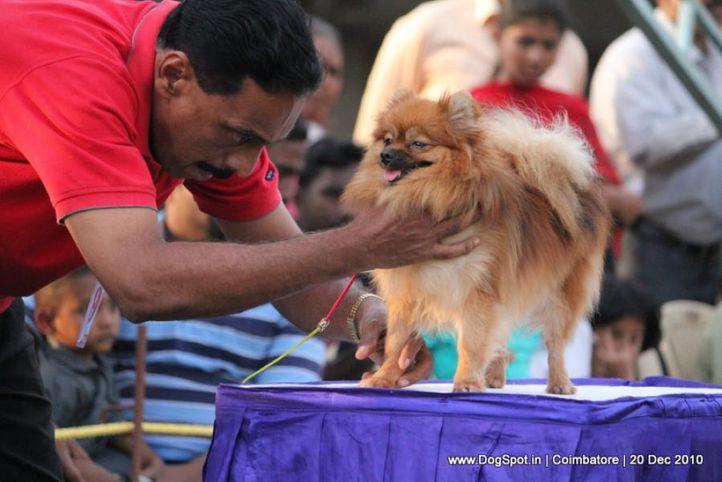 sw-19, pomeranian,, Coimbatore 2010, DogSpot.in