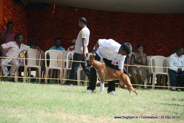 sw-19, boxer,ex-156,, LASTELLS PAPA DONT, Boxer, DogSpot.in
