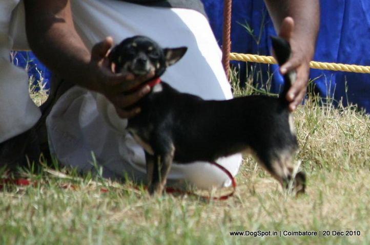 sw-19, chihuahua,ex-2,, DAYSPRINGS FREDDY, Chihuahua (Smooth Coat), DogSpot.in