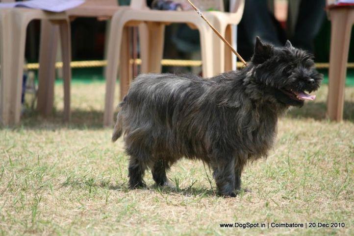 sw-19, terrier,ex-51,, RAMAYYA'S HUNTER, CAIRN TERRIER, DogSpot.in
