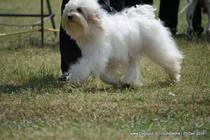 sw-19, ex-62,tibetian terrier,, COTTER'S DU NPA DORJE, Tibetan Terrier, DogSpot.in