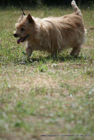 sw-19, terrier,ex-52,, RAMAYYA'S BUBBLY, CAIRN TERRIER, DogSpot.in