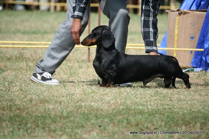 sw-19, dachshund,ex-80,, HACIENDA WALK IN THE PARK, Dachshund Standard- Smooth Haired, DogSpot.in