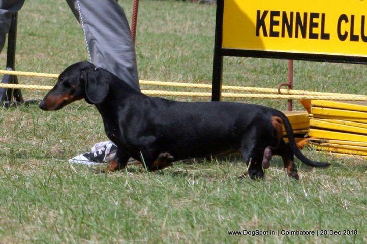sw-19, dachshund,ex-80,, HACIENDA WALK IN THE PARK, Dachshund Standard- Smooth Haired, DogSpot.in