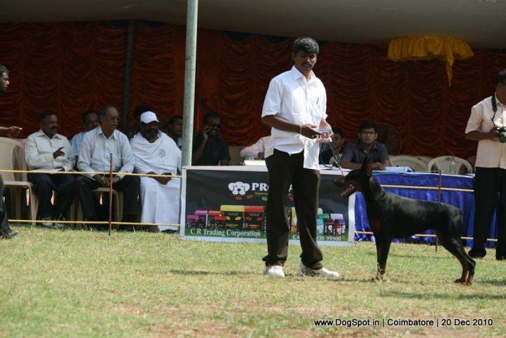 sw-19, doberman,ex-163,, Coimbatore 2010, DogSpot.in