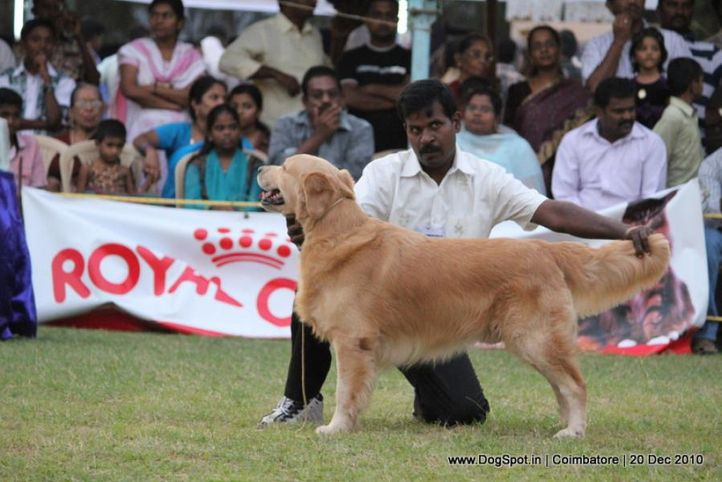 sw-19, ex-105,golden,, JOHEEMRS OPHELIAS ONCE IS NOT ENOUGH, Golden Retriever, DogSpot.in