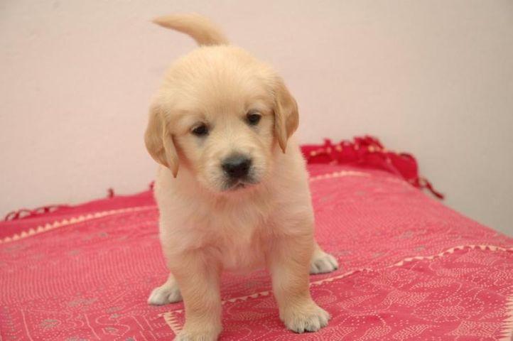 cutest golden retrevier pups ever, cutest golden retrevier pups ever, DogSpot.in
